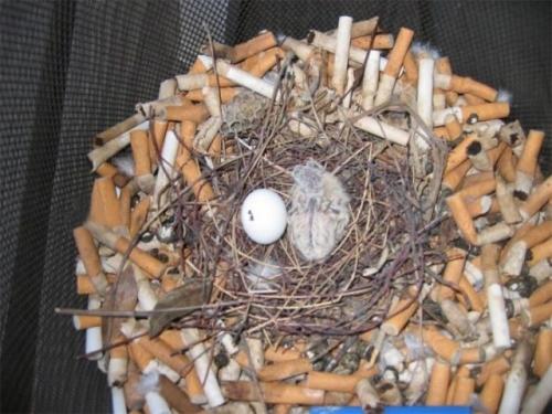 Городские птицы вьют гнезда с окурками