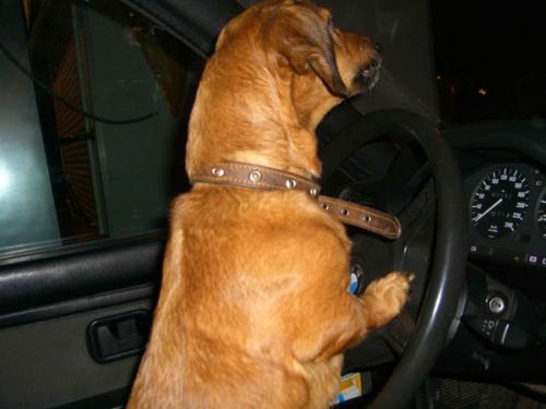 Собака за рулем - это возможно!